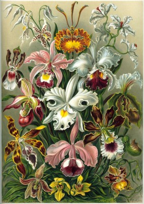 haeckel_orchidae